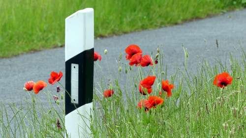 Poppy Red Road Field Klatschmohn Meadow