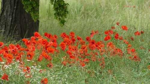 Poppy Meadow Summer Red Nature Klatschmohn