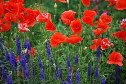 Poppy Summer Nature Flowers