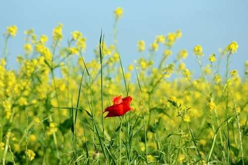 Poppy Rapeseed Field Flower Red Landscape Plant