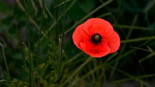 Poppy Red Summer Flower Nature Klatschmohn Plant