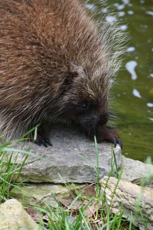 Porcupine Zoo Quills Danger Cute