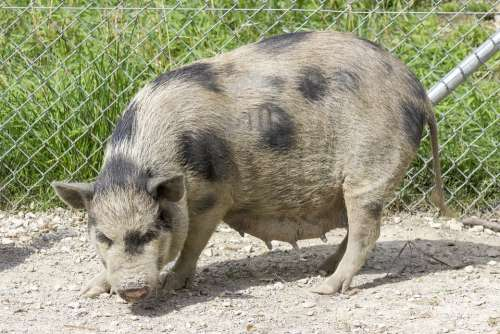 Pot-Bellied Pig Pig Swine Dirty Fat Mud Cute