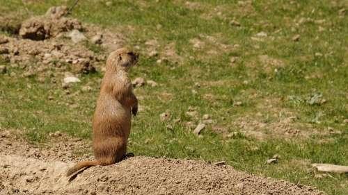 Prairie Dog Animal Animals Cute Fresh Attention