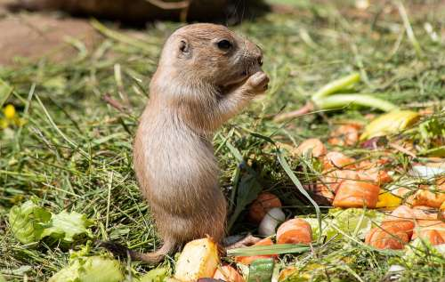 Prairie Dog Rodent Animal Animal World Small Nager