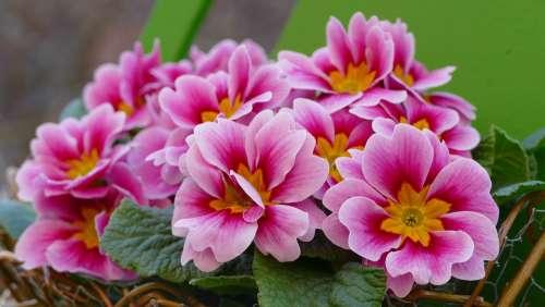 Primrose Flower Spring Garden Blossom Bloom