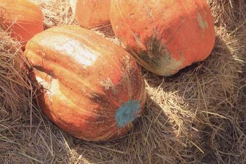 Pumpkin Big Straw Sunny Hot Summer Harvest