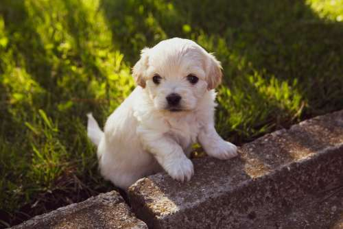 Puppy Dog Pet Animal Cute Adorable Young Doggy