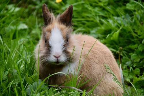 Rabbit Dwarf Rabbit Herbivore Rodent Cute Portrait