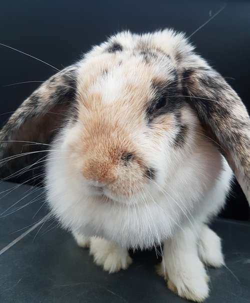Rabbit Lop-Eared Rabbit Furry Fluffy Cute Pet