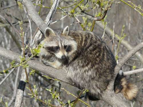 Raccoon Wild Life Cute Animal Canada Montreal