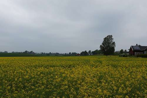 Rape Yellow Flower Nature Go Field Landscape