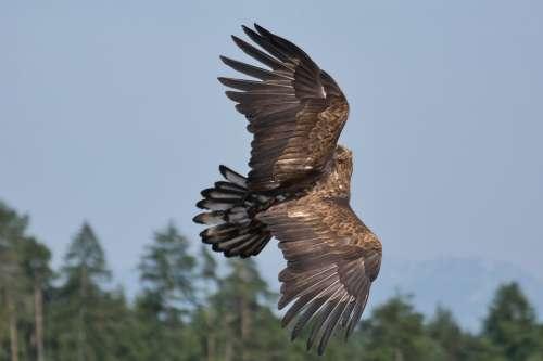 Raptor Bird Adler Animal Nature Majestic