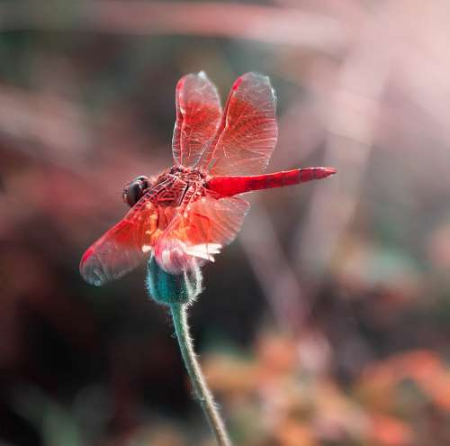 Red Insects Wings Flowers Colorful Plant Summer