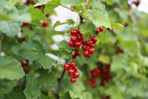 Red Currant Berry Red Berries Fruits Food Currant