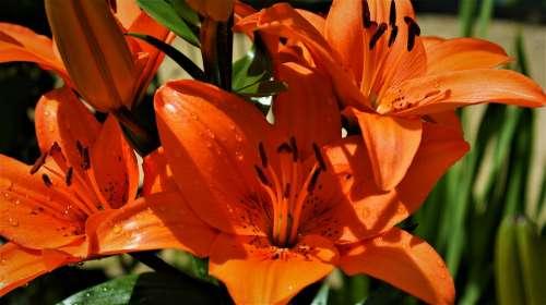 Red Flower Lily Vegetable Bloom Garden Summer