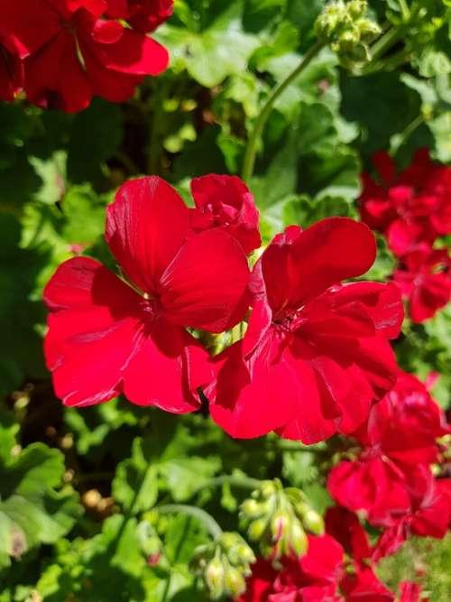 Red Flowers Bloom Garden Flowers Blossom Poppy