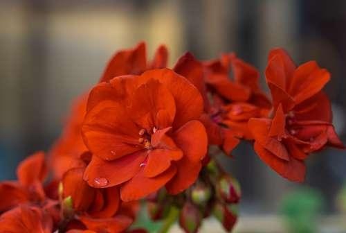 Red Geranium Plant Raindrop Garden