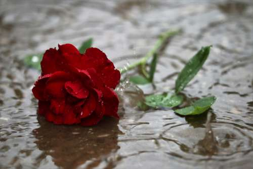 Red Rose In Rain Dark Gothic Mood Love Symbol