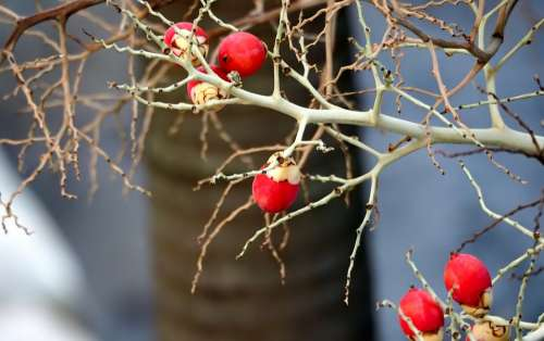 Red Small Fruit Tree Branch Bloom Fruit Red Small