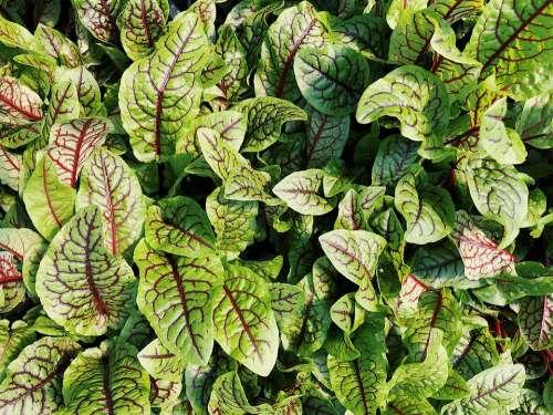 Red Veined Sorrel Vegetable Leafy Green Fresh Food