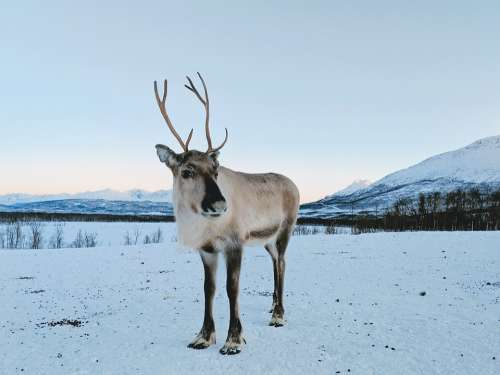 Reindeer Deer Snow Mountain Animal Nature Norway