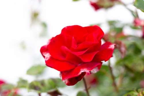 Rose Flower Nature Spring