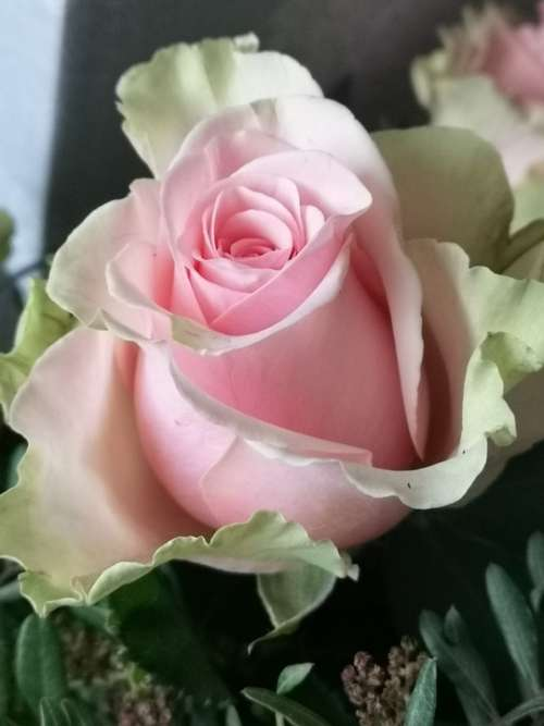 Rose Flower Nature Floral Beauty Pink