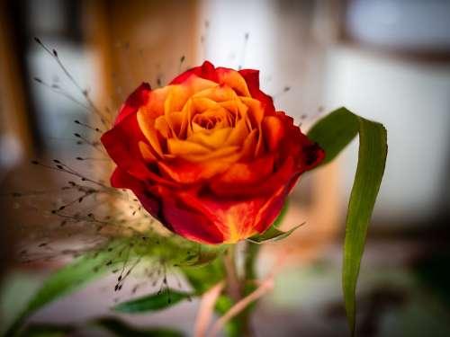 Rose Birthday Romantic Flowers Postcard