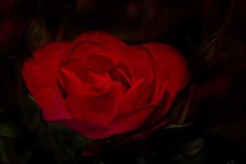 Rose Red Flower Tender Blossom Bloom Plant