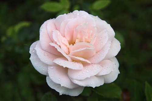 Rose Flower Nature Romantic Love Drop Of Water