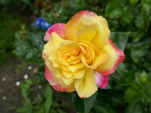 Rose Floribunda Yellow Pink-Red Edge Jubilee