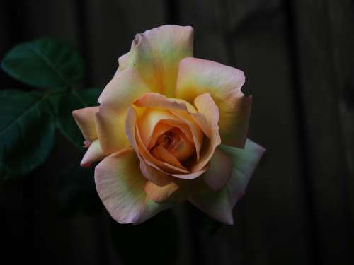 Rose Orange Weis Yellow Flower Romantic Fragrance