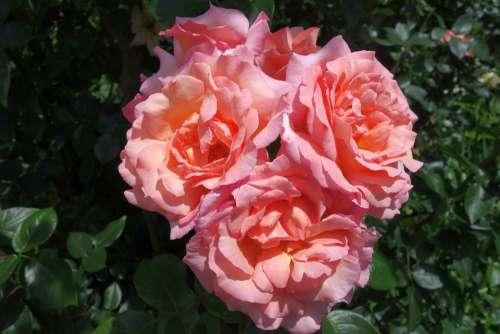 Rose Blossom Bloom Plant Rose Bloom Romantic