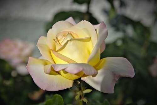 Rose Rose Flower Petals Blossom Tender Yellow