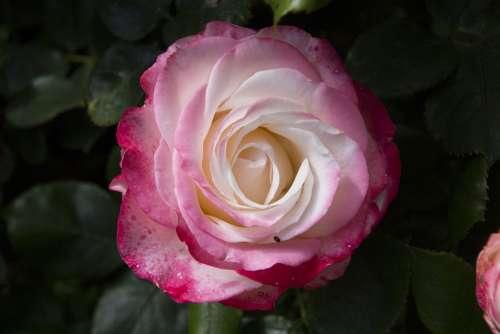 Rose Flower Blossom Bloom Nature Romantic Plant
