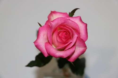 Rose Pink Romantic Bloom Delicate Floral