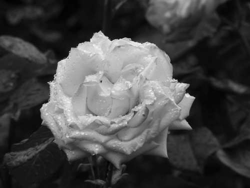 Rose Flower Plant Monochrome Nature Botany Flora