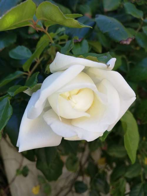 Rose White Plant Flower Nature Blossom Floral