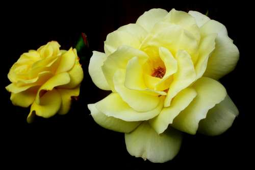 Roses Flowers Yellow Nature The Petals Beauty