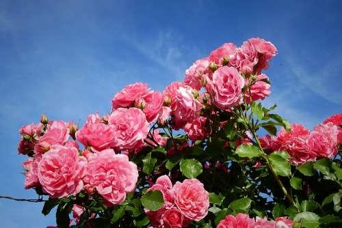 Roses Garden Flowers Spring Red Romantic