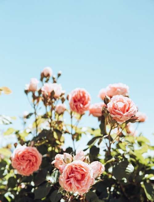 Roses Pink Flowers Bloom Romance Love