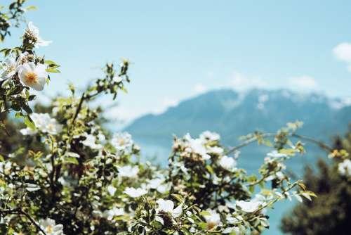 Roses Flowers Sky Mountains Nature Sunshine