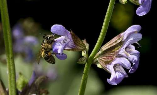 Sage Flower Nature Bee Close Up Purple Plant