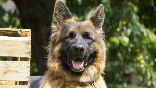 Schäfer Dog Dog Old German Shepherd Dog Animal Pet