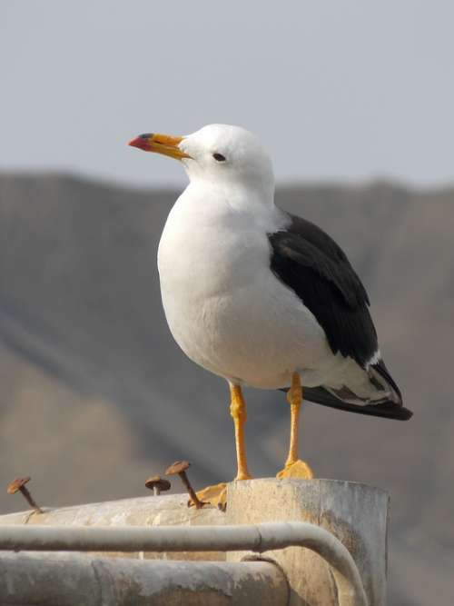 Seagull Birds Animals