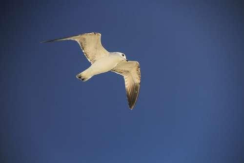 Seagull Blue Sky Bird Marine Water Clouds White