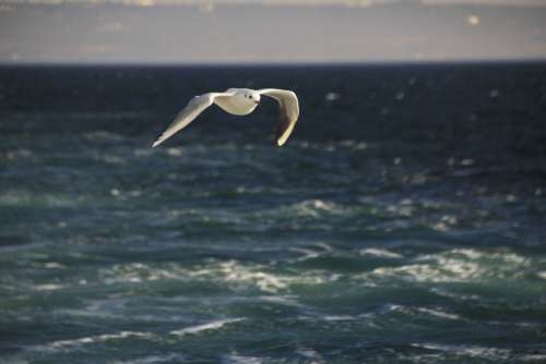 Seagull Blue Bird Marine Nature Sky Clouds