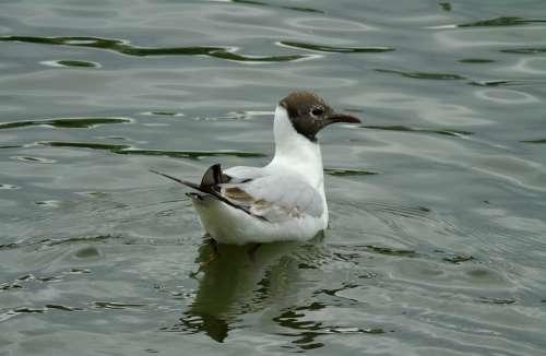 Seagull Seagull Śmieszka Śmieszka Bird Water Bird