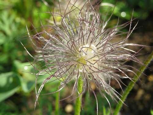 Seeds Plant Garden Cuddly Dew